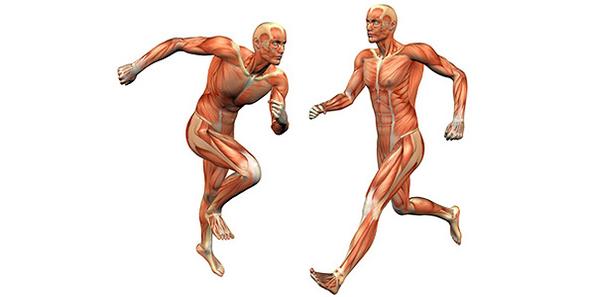 Muskulatur - (c) Peter Galbraith - Fotolia